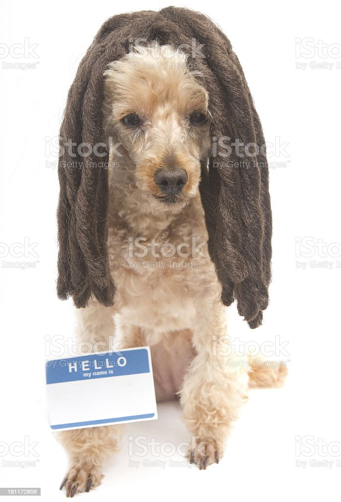 Dreadlocked Poodle with Name Tag royalty-free stock photo