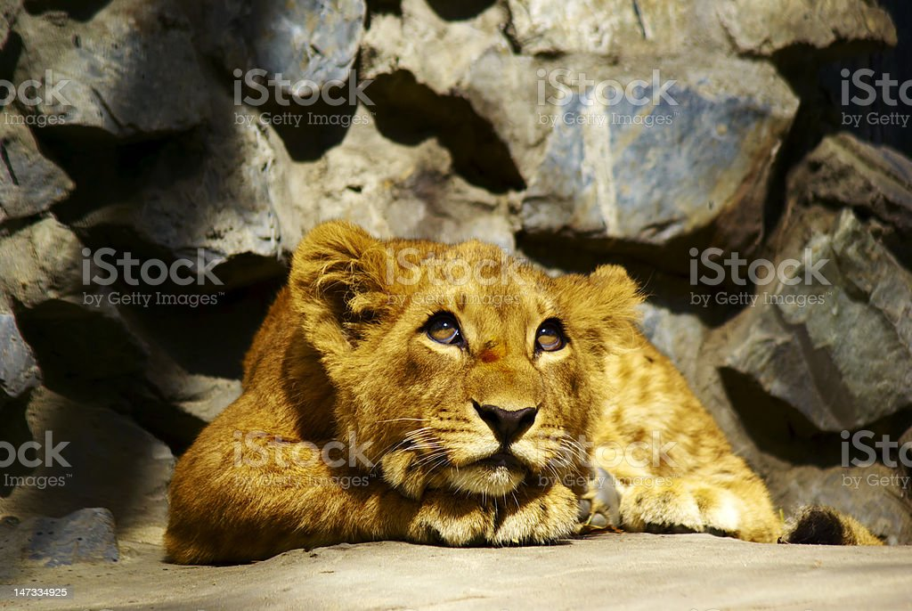 dreamer baby lion royalty-free stock photo