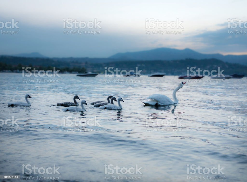 Dreamful Swan picture stock photo