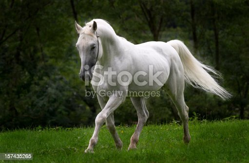 This beautiful arabian stallion can be everyone's dreamhorse. (Real photo, not a collage!)