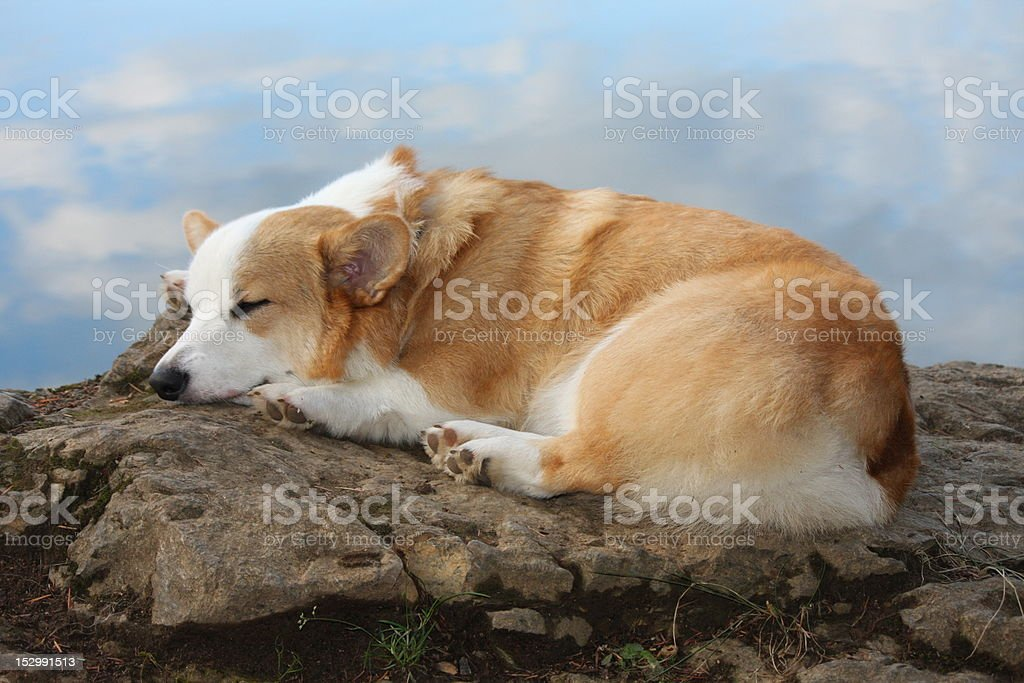 Dreaming Corgi dog stock photo
