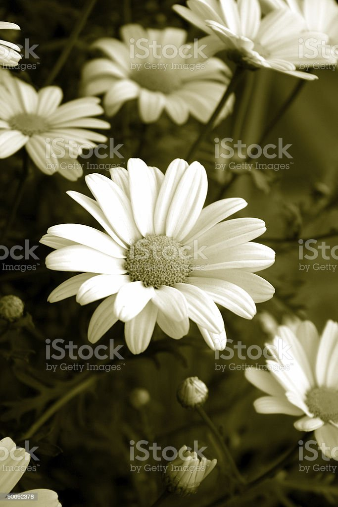 Dreaming of Daisies royalty-free stock photo
