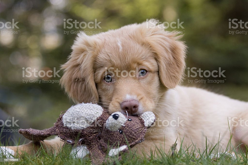 Dreaming puppy Nova Scotia Ducktolling Retriever seems to dream and holding it`s toy. Animal Stock Photo