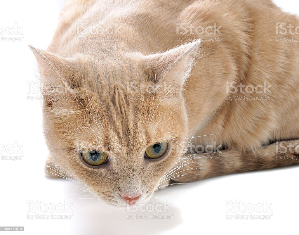 Dreaming red kitten royalty-free stock photo