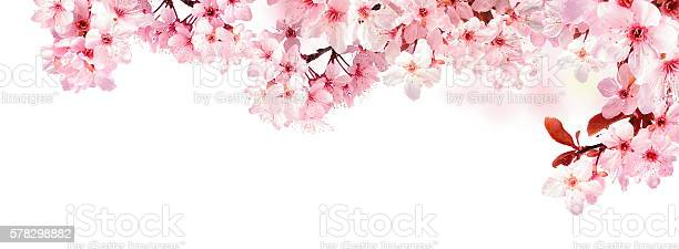 Dreamy cherry blossoms isolated on white picture id578298882?b=1&k=6&m=578298882&s=612x612&h=gxq5h7lwoozl9npyf6j24m2dfjjbdwk ux6 veu3yiu=