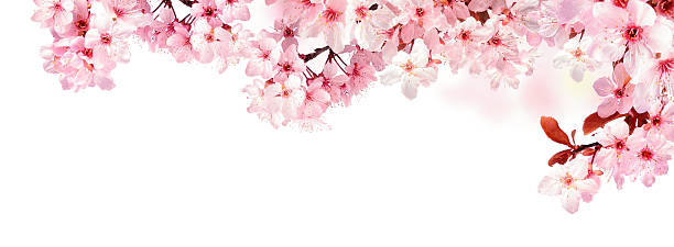 dreamy cherry blossoms isolated on white - blossom stock pictures, royalty-free photos & images