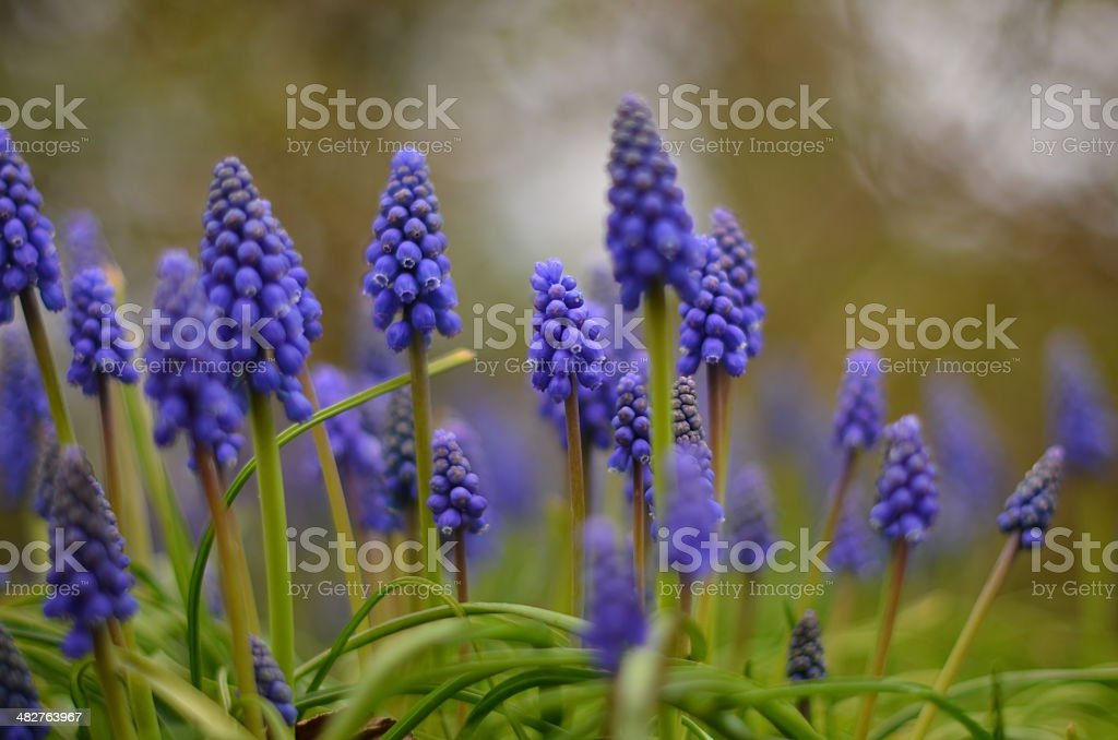 Dreamy Grape Hyacinth stock photo