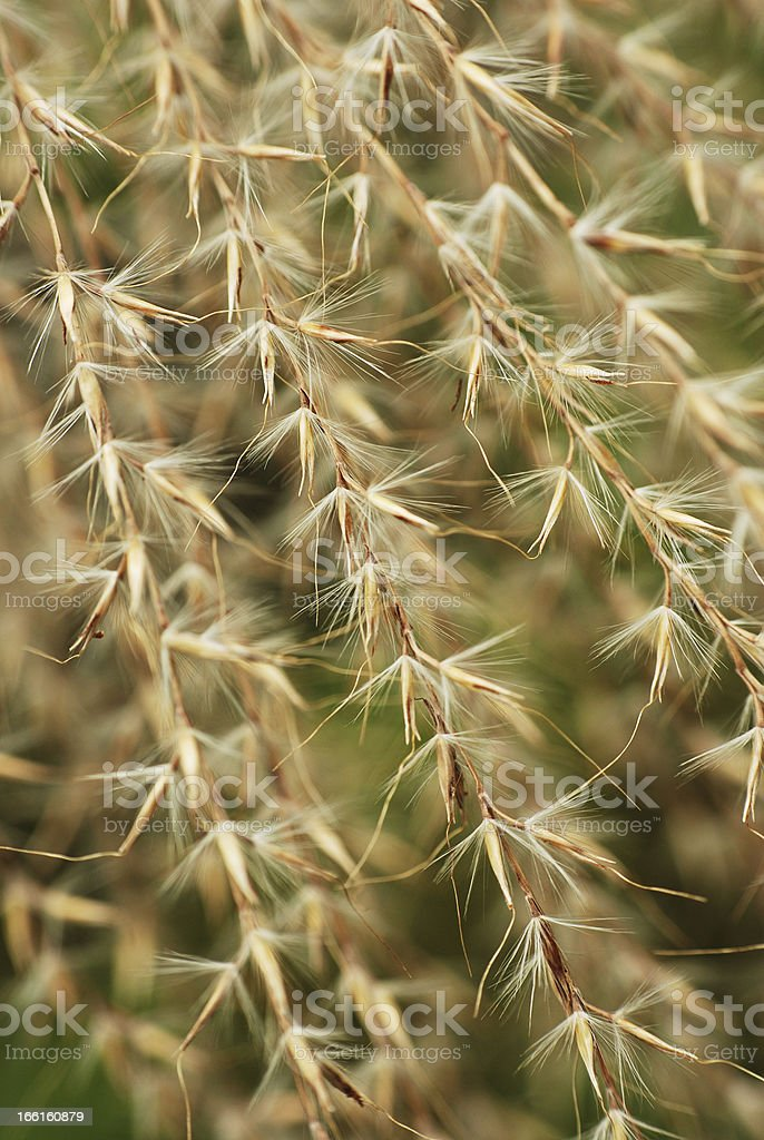 Dreamy Looking Dried Flower Husks royalty-free stock photo