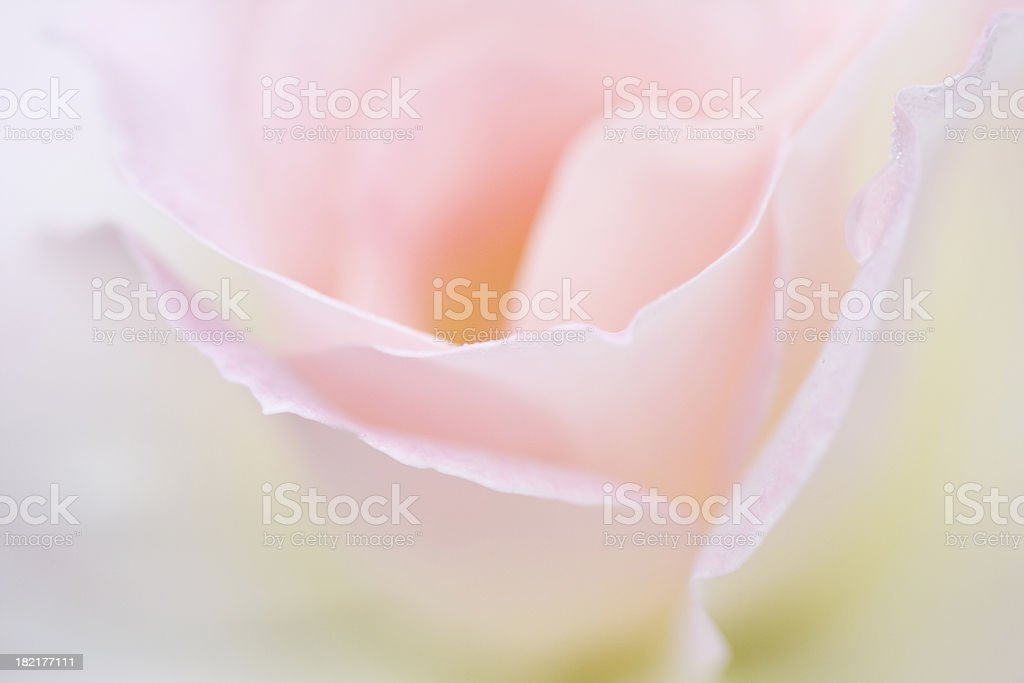 Dreamy Rose royalty-free stock photo
