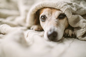 istock Dreamy thoughtful relaxed sad dog look under the blanket. Lovely cute dog face. 1132974985
