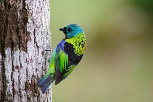 Dreifarbentangare - Sairra-seven-colors stock photo