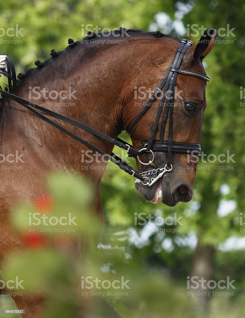 Dressage horse portrait royalty-free stock photo