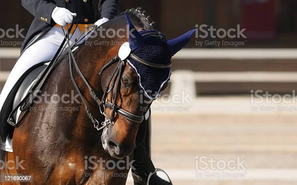 Dressage portrait of bay horse picture id121690067?b=1&k=6&m=121690067&s=612x612&h=j2yrbn52d7kmismrpugaq9btyngmfq1dpjuyovo5nhk=