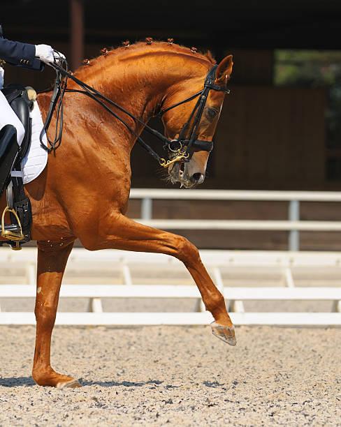 dressage équestre: portrait de chevaux oseille - dressage photos et images de collection