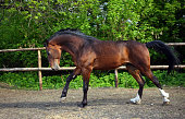 Dressage sportive horse portrait galloping in summer outdoor ranch