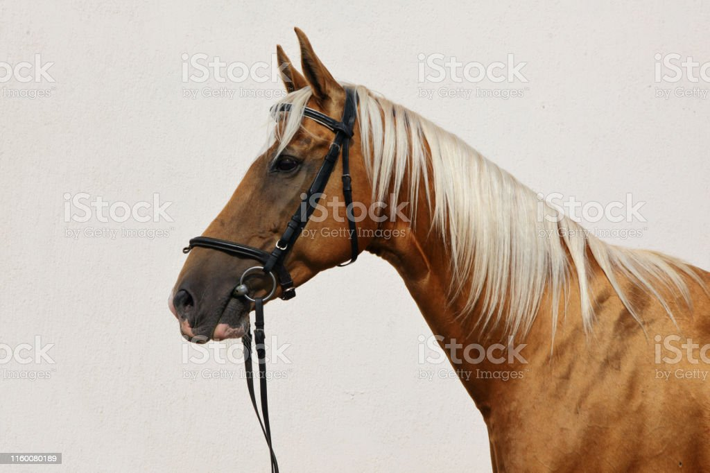 Dressage Sports Palomino Horse Portrait In Outdoor Stock Images Page Everypixel