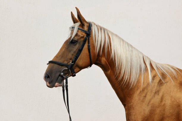 dressage sports horse portrait in outdoor - horse bit stock pictures, royalty-free photos & images