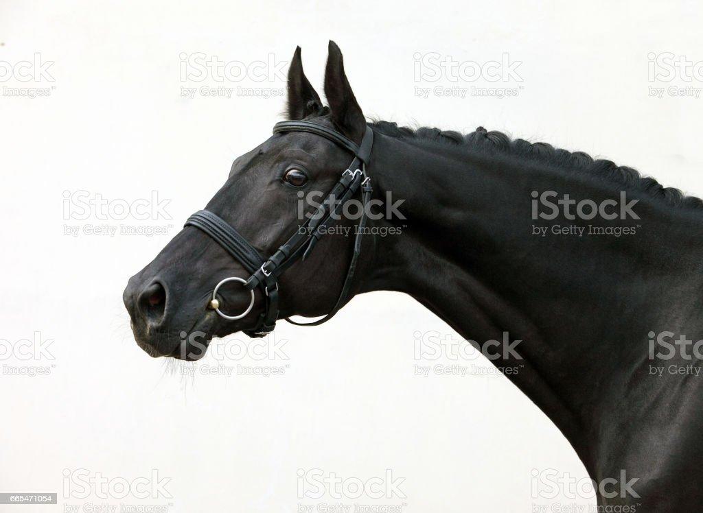 Dressage sports horse portrait stock photo