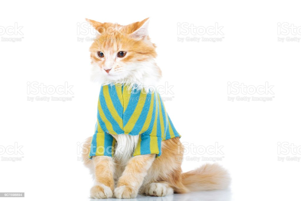 dressed cat with furry tail stock photo