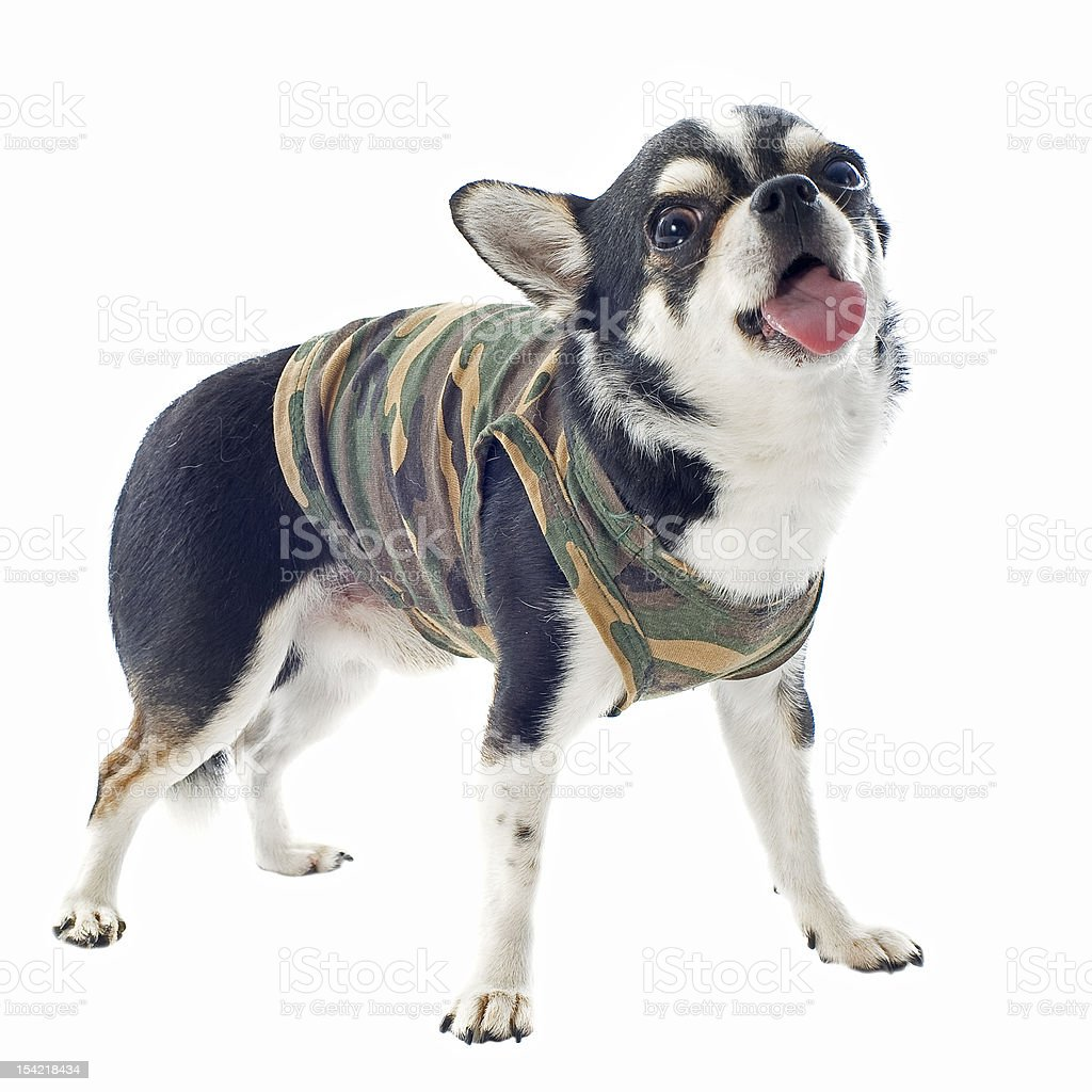 dressed chihuahua royalty-free stock photo