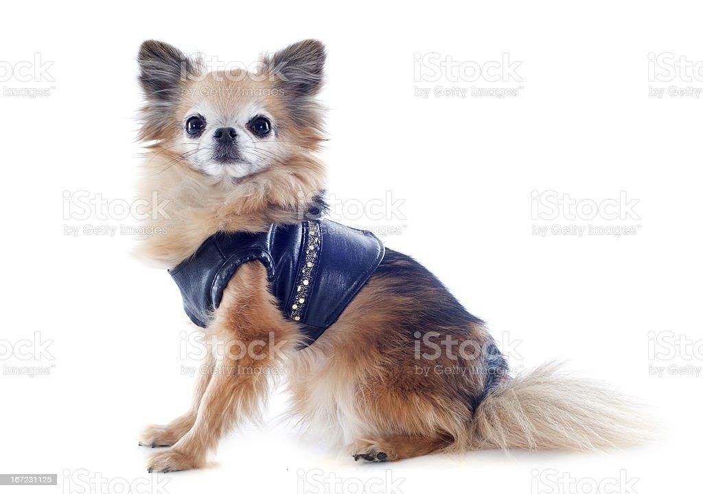 dressed chihuahua stock photo