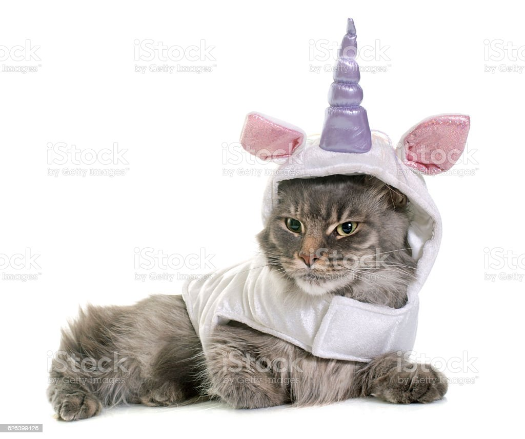 dressed maine coon cat stock photo