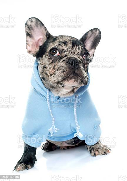 Dressed puppy french bulldog picture id506132236?b=1&k=6&m=506132236&s=612x612&h=pqwtdnu94fcollijjxgg0cs0dskosflrgbycthk ako=