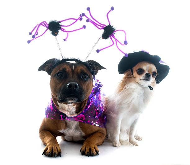 elegante staffordshire-bullterrier und chihuahua - hund spinnenkostüm stock-fotos und bilder