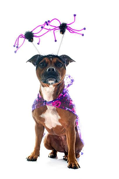 elegante staffordshire bull terrier - hund spinnenkostüm stock-fotos und bilder