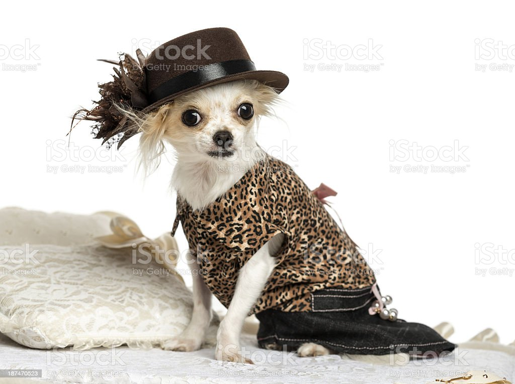Dressed-up Chihuahua sitting on a carpet, isolated stock photo