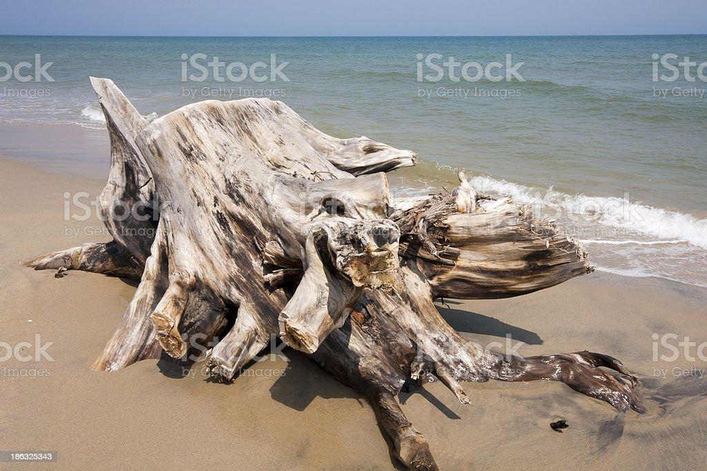 Drfitwood on beach royalty-free stock photo