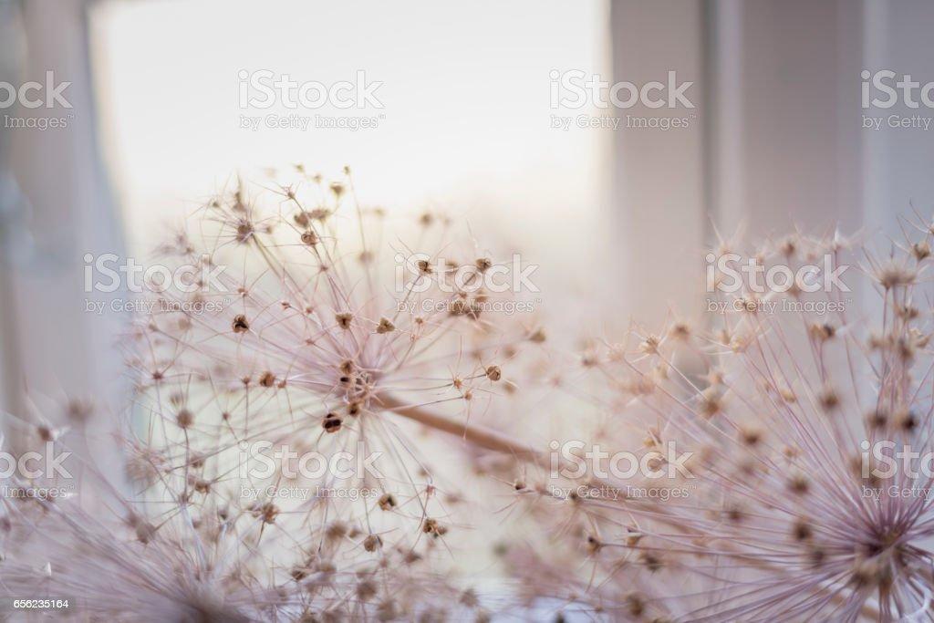 Dried Allium Flower Heads stock photo