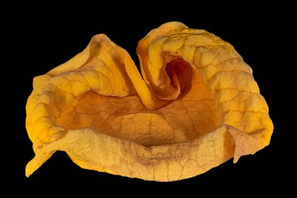 Getrocknete und gewellte einzelne gelbe Rose Blütenblatt auf schwarzem Hintergrund – Foto