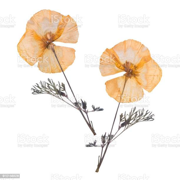Dried and pressed flowers isolated on white background herbarium of picture id910156528?b=1&k=6&m=910156528&s=612x612&h=1jnetvjp efuf0nxfwoltc9mpqeb2tp2ncbg2 nluig=
