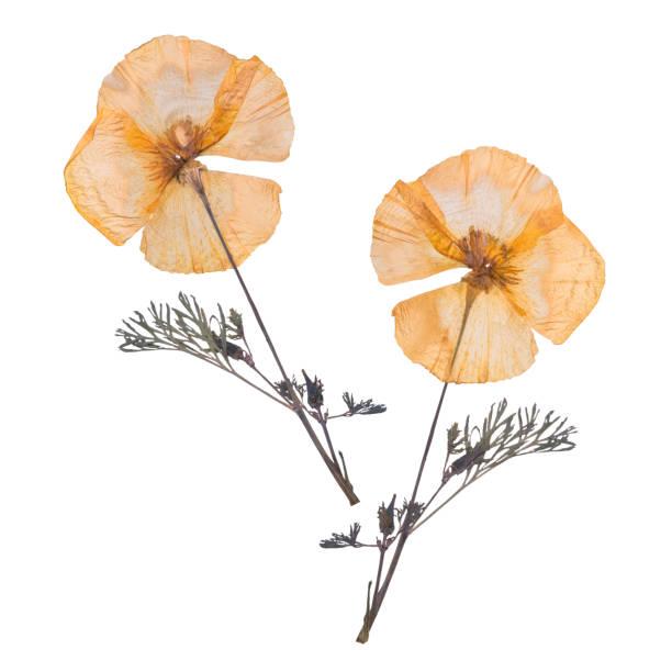 Dried and pressed flowers isolated on white background herbarium of picture id910156528?b=1&k=6&m=910156528&s=612x612&w=0&h=y jc nw7ip nesqz9nq6pe2szyq8nwffbjdyoebkmgq=