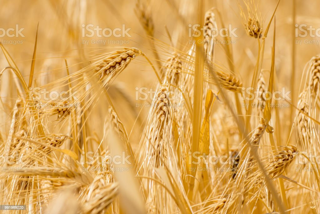 dried barley grain stock photo