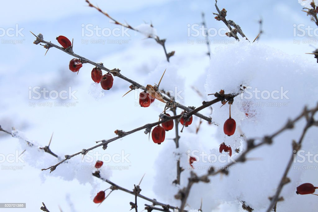 dried berries Siberian barberry stock photo