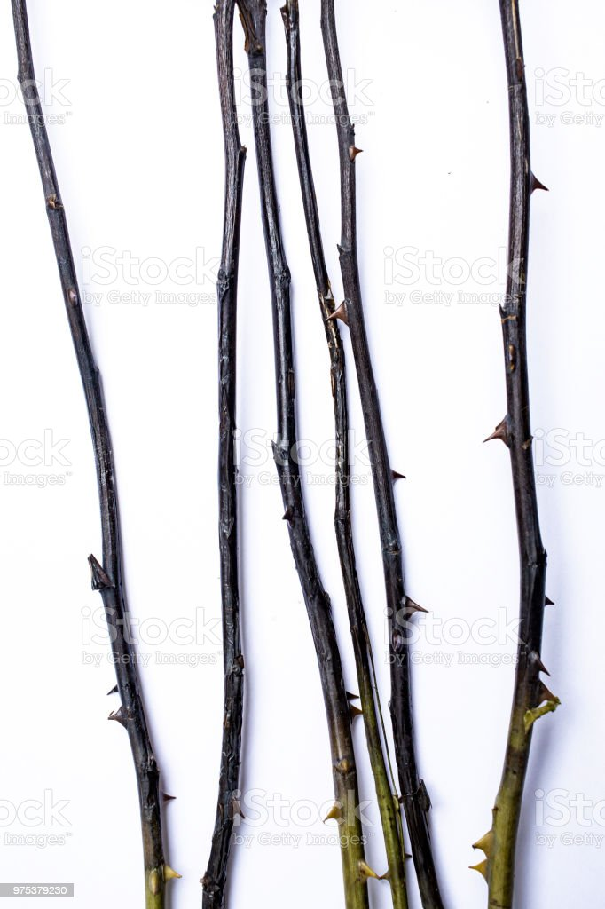 Dried black branch of roses  on white background, Abstract pattern concept stock photo