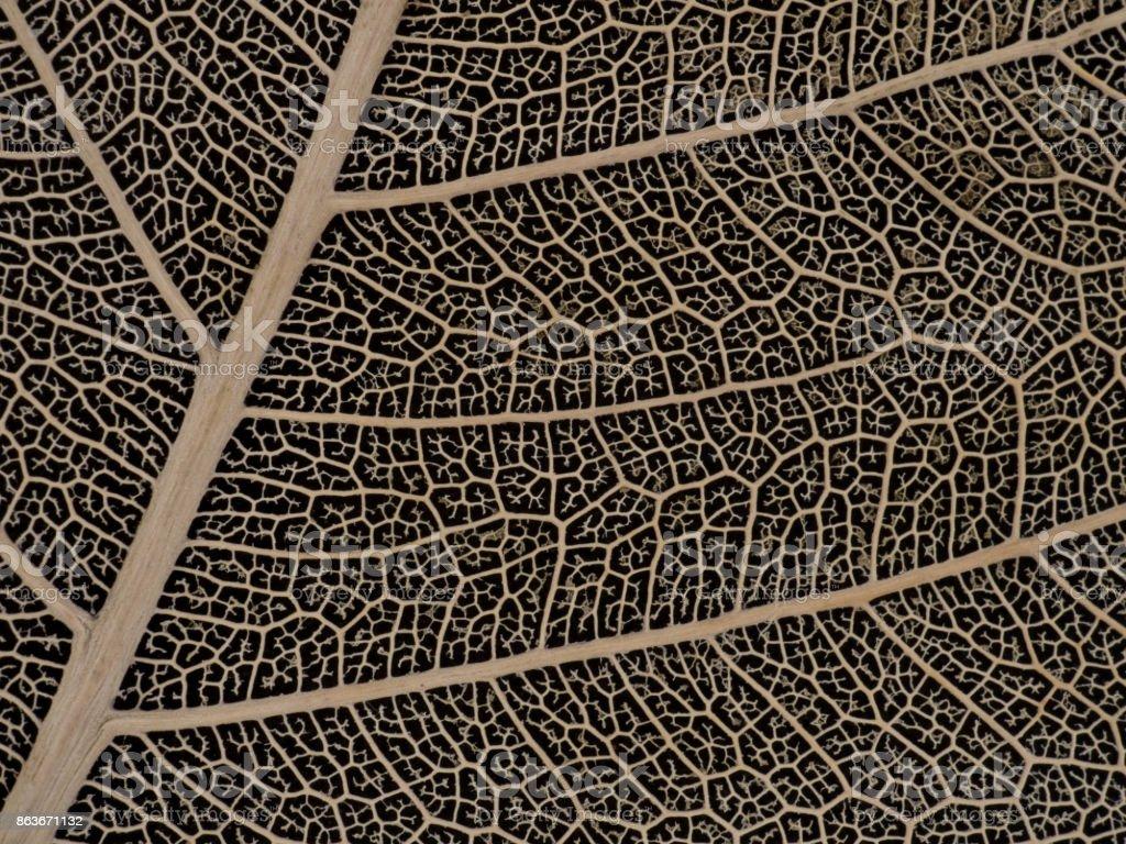 Dried Bodhi leaf on black background stock photo