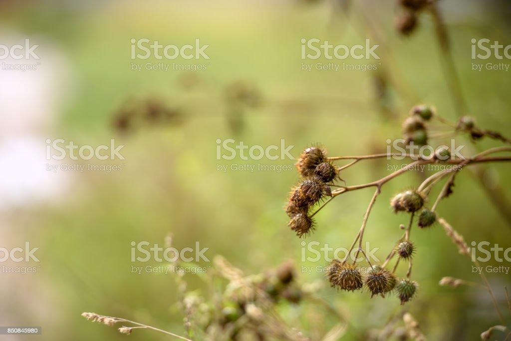 dried Burdock amid green grass stock photo