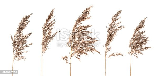 Five dried bush grass panicles isolated on white background