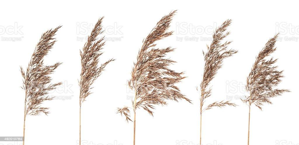 Dried bush grass panicles on white background stock photo