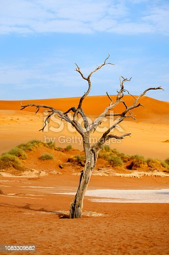 1083309578 istock photo Dried camel acacia tree on orange sand dunes and bright blue sky background, Naukluft National Park Namib Desert, Namibia, Southern Africa 1083309582