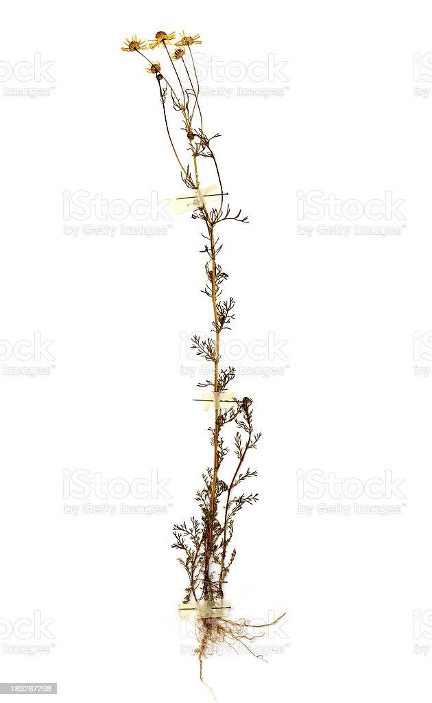 Dried chamomile (Matricaria chamomilla) royalty-free stock photo