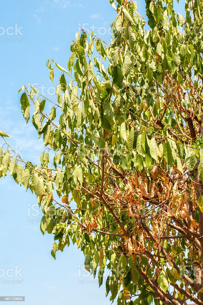 Dried cherry tree leaf during hot summer drought stock photo