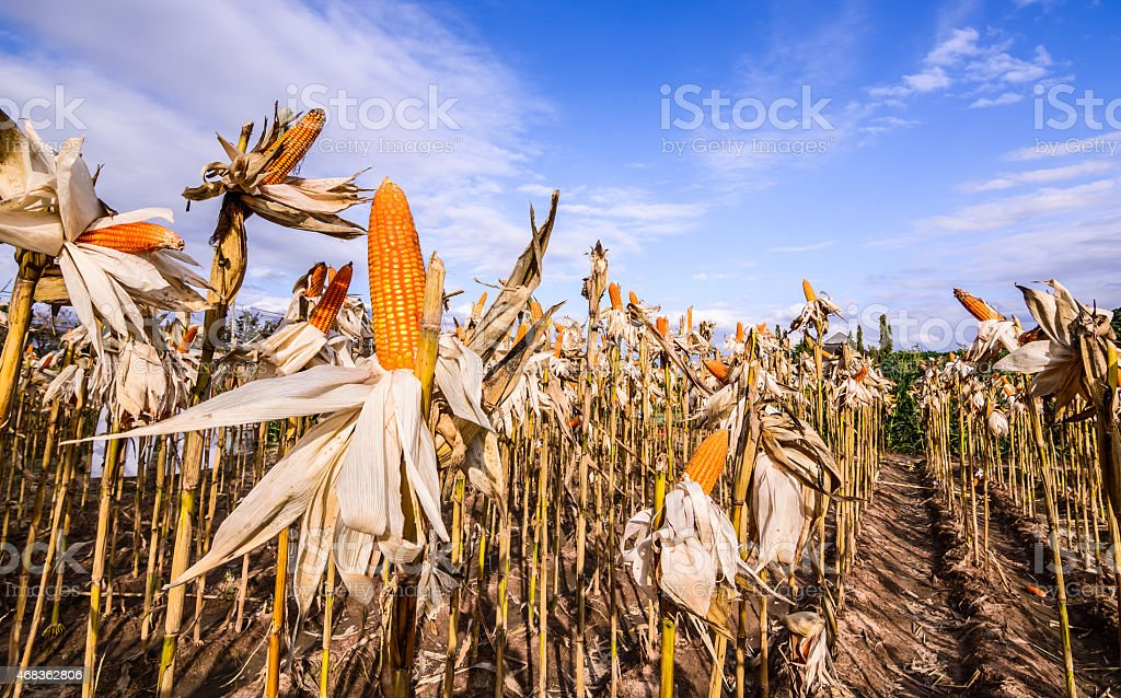 Dried corn on straw royalty-free stock photo