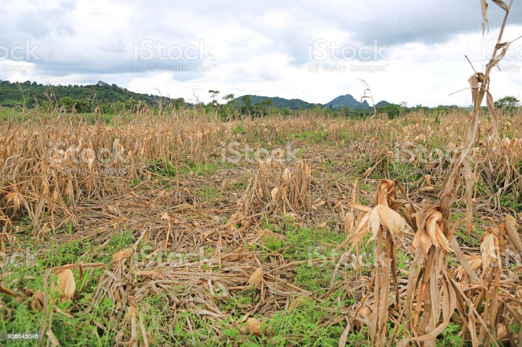 Dried corn stalks in the fall season. stock photo