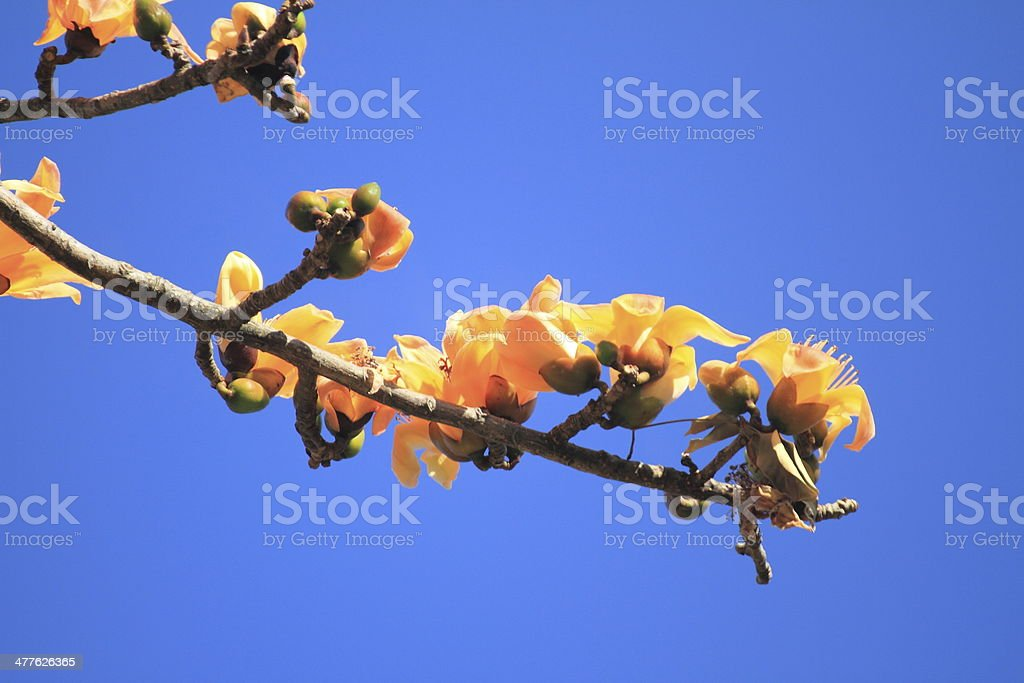 Dried Cotton Flower for Northern Thai Noodle Curry(Nam-Ngeaw) royalty-free stock photo