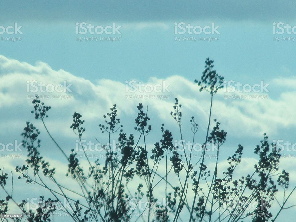 Dried Crepe Myrtle Against a Blue Sky with White Clouds stock photo