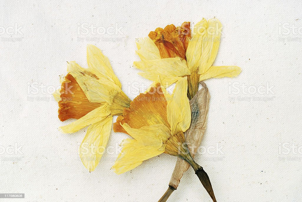 Dried daffodil flower on canvas royalty-free stock photo